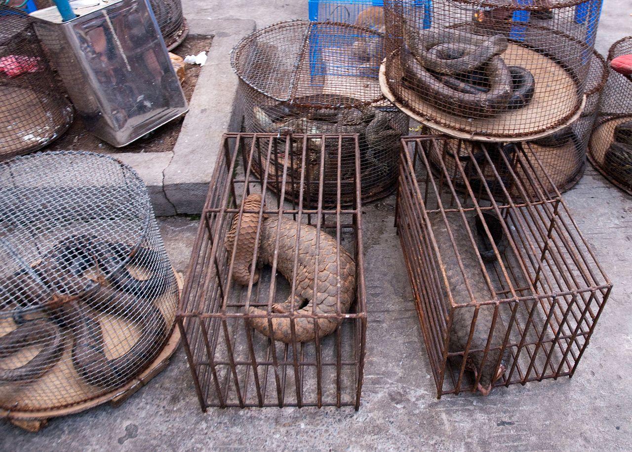 Незаконна продажба на панголини на пазара в Мианмар Източник: Wikipedia, Dan Bennett